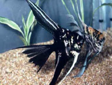 Cichli37 انواع ماهی انجل
