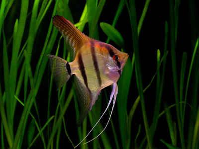 نتیجه تصویری برای ماهی انجل