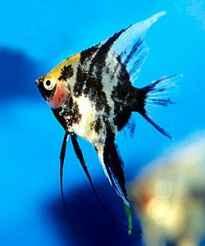 sg انواع ماهی انجل