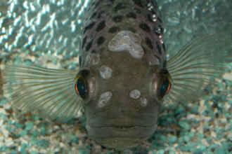 سوراخ شدگی سر ماهی