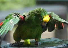 parrot%2022%20small تصاویر بسیاز زیبا از طوطی سانان برای دسکتاپ یا سایر ....