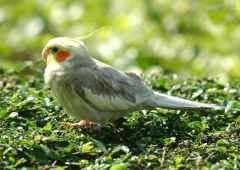 parrot%204%20small تصاویر بسیاز زیبا از طوطی سانان برای دسکتاپ یا سایر ....